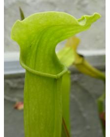 SRG02 S. rubra ssp....