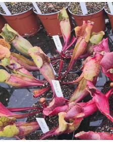 S. purpurea ssp.purpurea
