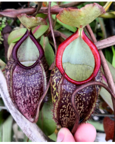 Népenthes gymnamphora