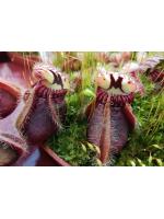 Cephalotus clone 2