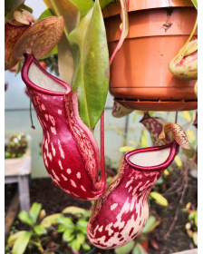 Népenthes 'Gaya'