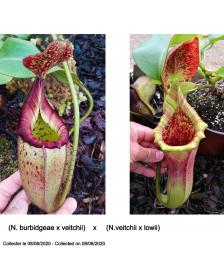 (N. burbidgeae x veitchii)...