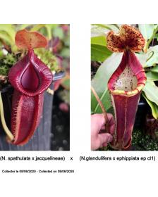 (N. spathulata x...