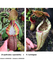 (N.spathulata x...