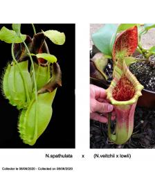 N.spathulata x (N.veitchii...