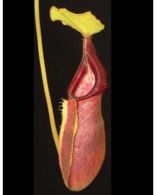 Népenthes singalana x ovata