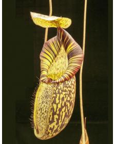 Népenthes spectabilis x mira
