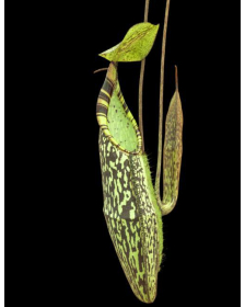 Népenthes spectabilis