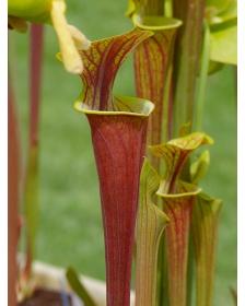 S. flava var. rubricorpora -- Red tube,Apalachicola,W,(AH)(F19,MK)