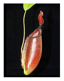 Nepenthes ampullaria x fusca