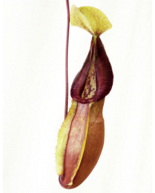 Nepenthes singalana x...