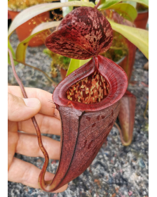 Népenthes glandulifera x...
