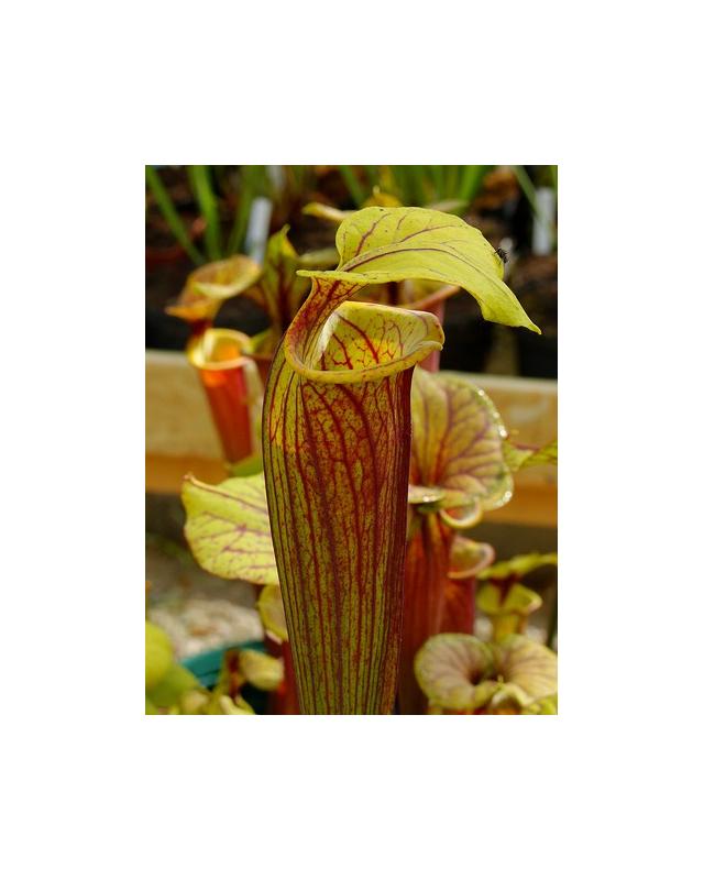 S. flava var. rubricorpora -- ornata int, Wewahitchka FL (F56 MK)