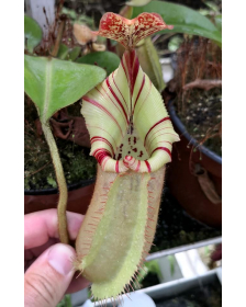 Népenthes robcantleyi x...