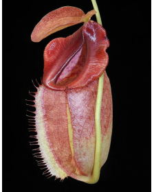 Népenthes spathulata x tenuis