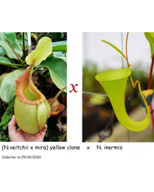 (N.veitchii x mira) yellow...