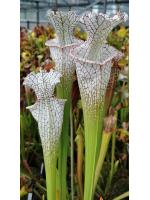S. leucophylla -- 'Mont Blanc'