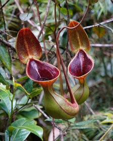 Népenthes lowii