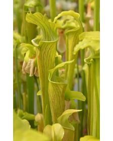 S. alata -- green veined