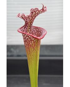S. leucophylla -- L31A x...