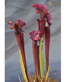 Sarracenia Judith Hindle