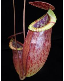 Nepenthes eustachya x tenuis