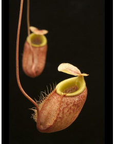 Nepenthes belii
