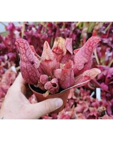 Sarracenia purpurea subsp....
