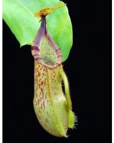 Nepenthes hamata x veitchii BE
