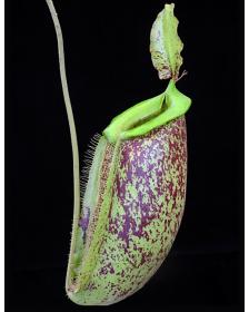 Nepenthes spathulata x...