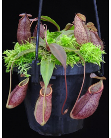 Nepenthes gymnamphora BE