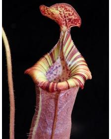 Nepenthes (veitchii x...