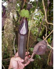 Nepenthes izumiae 'Lusung...