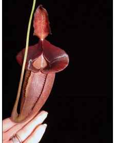 Népenthes spathulata x...