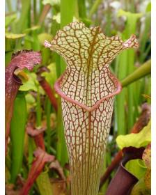 S. x moorei x S.leucophylla 'Marstom select'