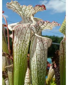 S. leucophylla -- white top,fine red veins ( L34-MK )