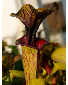 S. flava var. ornata -- solid red throat (MK F88)