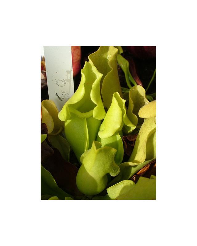S. purpurea ssp.venosa -- Green, Anthocyanin free