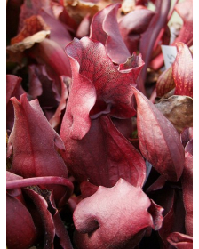 S. purpurea ssp.venosa -- red form