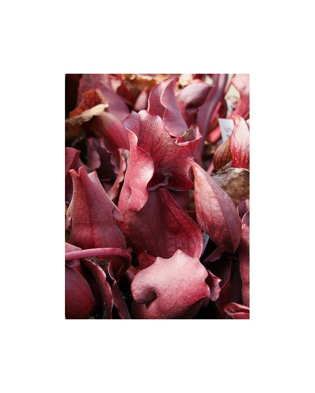 S. purpurea ssp.venosa -- red form