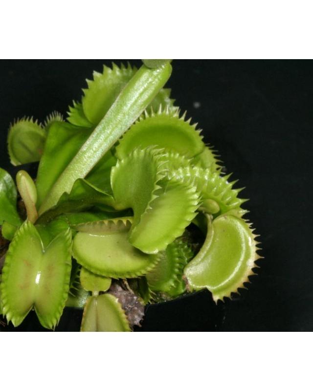 D. muscipula 'shark teeth' (plantev)