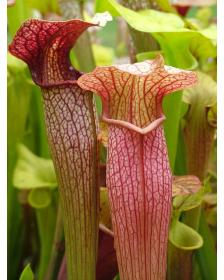 S. x areolata,Very collorful clone, snowwhite flower (Hans Luhrs), Rogier van Loenen SH07