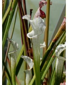 S. leucophylla -- 'Alba' very white tops
