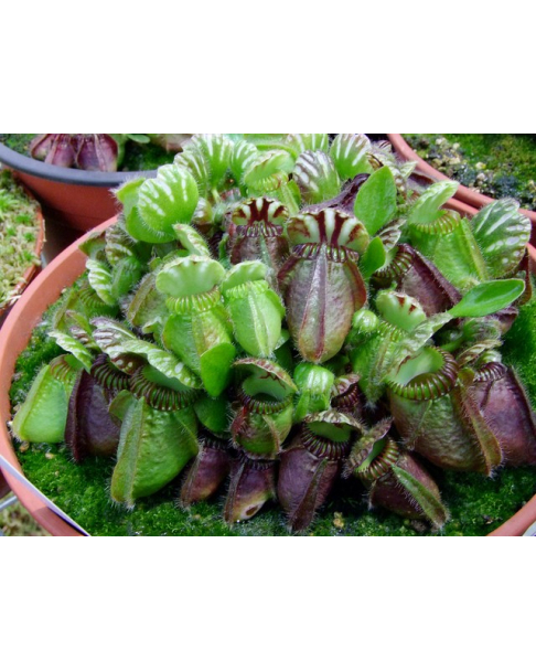 Cephalotus follicularis 'German Giant'