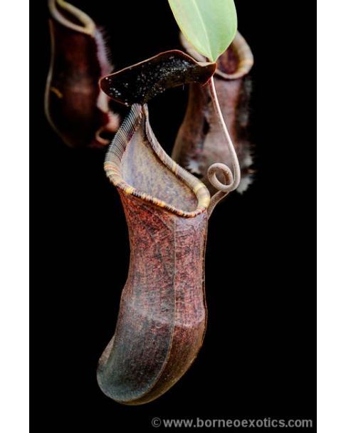Nepenthes muluensis x lowii