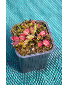 Dionaea 'cross teeth'