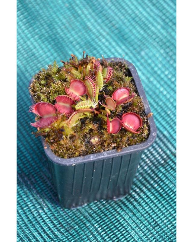 Dionaea 'cross teeth'