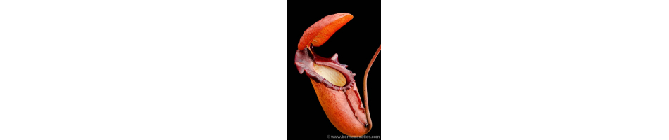 Nepenthes d'altitude