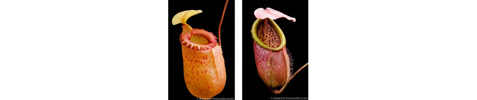 Nepenthes intermediate